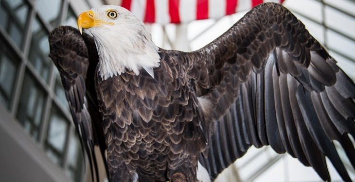 IMAGE: Challenger, a 29-year old non-releasable bald eagle