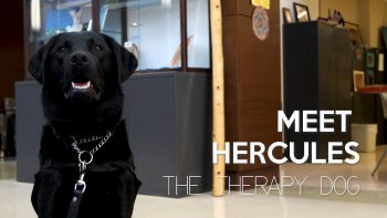 hercules black lab therapy dog at tampa va
