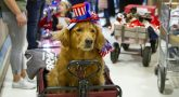 A service dog in a wagon and wearing a patriotic hat leads a parade