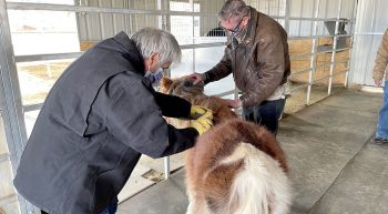 Two men grooming a pony