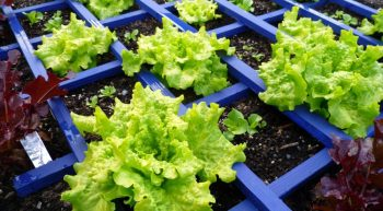 Tray of lettuce seedlings